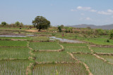 Rice paddy fields in the lowlands near Morondava