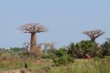 Our first baobab tree near Morondava