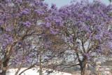 Jacaranda tree in Fianarantsoa