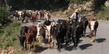 Many Zebu on the road near Ranomafana