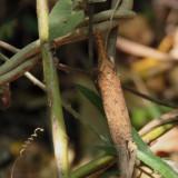 Some kind of Leaf Bug at Anja