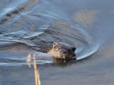 Otter, Endrick Water-Loch Lomond