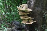 Bracket Fungus, Dalzell Woods, Motherwell