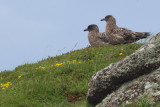 Great Skua, Handa, Highland