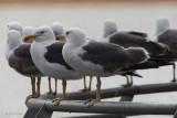 Lesser Black-backed Gulls, Hogganfield Loch, Glasgow