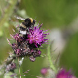 Buff-tailed Bumblebee, Kilpatrick Hills
