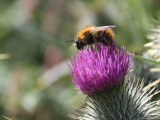 Common Carder Bee, Kilpatrick HIlls