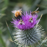 Common Carder Bee with Hoverflies, Kilpatrick HIlls