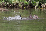Otters, River Clyde at Baron's Haugh