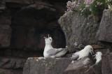 Fulmar, Handa, Highland