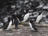 Razorbills, Handa, Highland