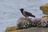 Hooded Crow, Handa, Highland