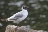 Black-headed Gull, Balloch CP, Clyde