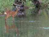 Roe Deer, River Clyde at Baron's Haugh