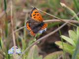 Small Copper, RSPB Loch Lomond