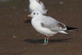 Black-headed Gull, Hogganfield Loch, Glasgow