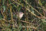 Barred Warbler, Swining, Shetland