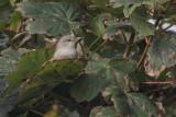Barred Warbler, Baltasound-Unst, Shetland