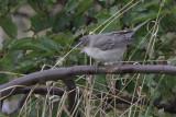 Barred Warbler, Halligarth-Unst, Shetland