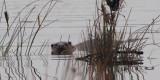 Otter, Net Bay-Loch Lomond