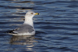 Ring-billed Gull, Strathclyde CP, Clyde
