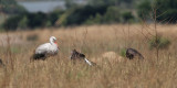 White Stork and Abdim's Storks