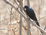 Meve's Longtailed Starling