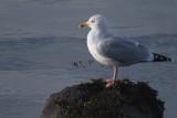 Herring Gull, Cardwell Bay-Gourock, Clyde