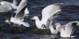Gull feeding frenzy, Strathclyde Loch, Clyde