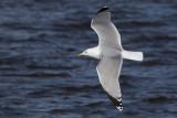 Herring Gull adult, Strathclyde Loch, Clyde