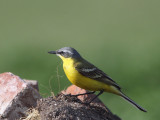Yellow (Blue-headed) Wagtail