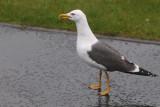 Lesser Black-backed Gull, Bailiieston, Glasgow