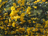 Broom flower, Low Mains, Loch Lomond NNR
