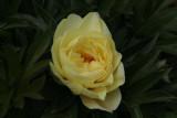 Peony Rose, Culzean Castle gardens