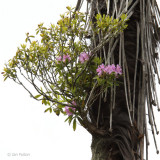 Rhododendron growing epiphytically on a plam tree
