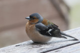 Chaffinch at our Scalasaig cottage