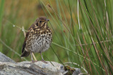 Song Thrush at our Scalasaig cottage