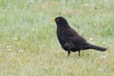 Blackbird at Oronsay Priory