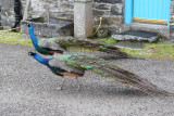 Peacocks at Oronsay House