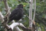 Blackbird at our cottage in Scalasaig