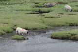 Lamb marooned itself on the saltmarsh at Scalasaig