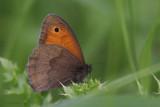 Meadow Brown, Cardowan Moss, Glasgow