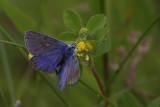 Common Blue, Cardowan Moss, Glasgow