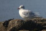 Mediterranean Gull, Troon South Beach, Ayrshire