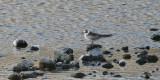 White-winged Tern (or White-winged Black Tern)
