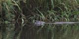Otter, Endrick Water-Loch Lomond, Clyde