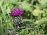 Scottish Thistle, Loch Lomond NNR
