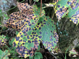Autumn leaves, Loch Lomond NNR