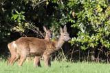 Roe Deer, Balmaha, Loch Lomond