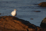 Little Gull, Fife Ness